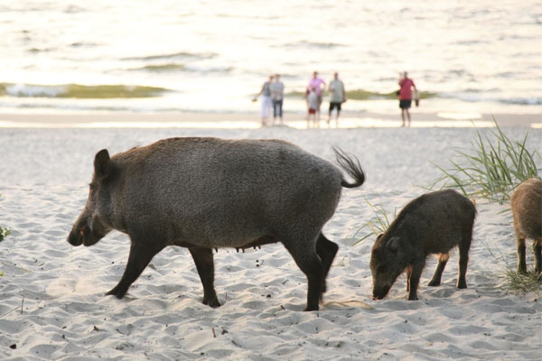 Introduction to Wild Pigs